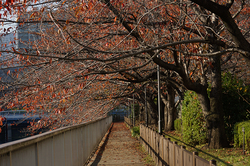 大横川遊歩道